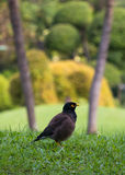 The common myna Acridotheres tristis on green grass feild. The common myna Acridotheres tristis green grass feild with copy space Stock Photography