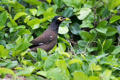 Common Myna. (Acridotheres tristis) in Mauritius Stock Image