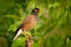 Common Myna, Acridotheres tristis, at Ranthambore National Park. Animal in nature habitat, Asia. Bird sitting on the branch. Clear Royalty Free Stock Photos