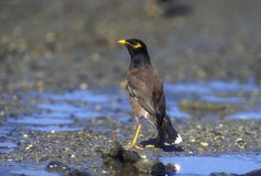 Common myna, Acridotheres tristis Royalty Free Stock Photography