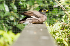 Common Myna (Acridotheres tristis tristis) Royalty Free Stock Photo