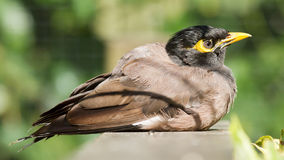 Common Myna (Acridotheres tristis tristis) Royalty Free Stock Image