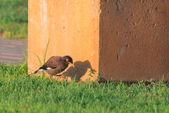 Common myna (Acridotheres tristis tristis) with shdow. Royalty Free Stock Photography