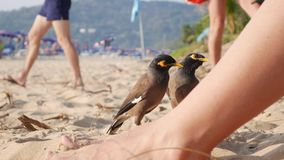 Common Myna or Acridotheres tristis waiting for food from tourists on the beach in Thailand. Closeup. 4k stock video footage