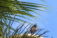 Common myna (acridotheres trusts) Stock Photo