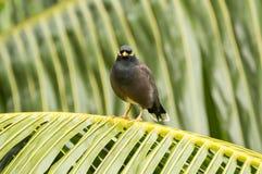 Common myna (Acridotherestristis) bird in Praslin Island, Seychelles. Image taken in Praslin Island, Seychelles.The common myna is readily identified by the Royalty Free Stock Photography