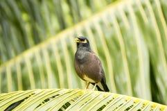 Common myna (Acridotherestristis) bird singing in Praslin Island, Seychelles. Image taken in Praslin Island, Seychelles.The common myna is readily identified by Royalty Free Stock Photography