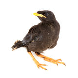 Common Myna - Baby Bird Stock Photos