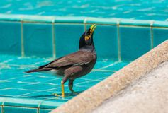 Common myna is bathed in the pool in Thailand Stock Photos