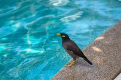 Common myna is bathed in the pool in Thailand Royalty Free Stock Photo