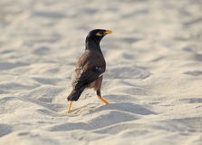 Common myna on beach Stock Image