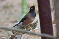 Common Myna Bird Stock Photography