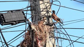 Common Myna bird Acridotheres tristis Brings food to the nest on a electric pylon and feeds the babies before flying away.