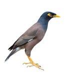 Common myna bird. Beautiful common myna bird isolated on white background Stock Images