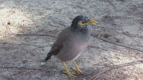 Common Myna bird close-up stock video footage