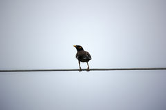 Common Myna bird on electric wire Stock Image