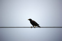 Common Myna bird on electric wire Royalty Free Stock Photo
