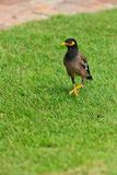Common Myna bird on the grass Stock Images