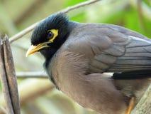 Common Myna Bird. In Mauritius Island Stock Photos