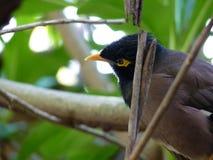 Common Myna Bird Stock Photo