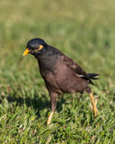 The Common Myna Bird Royalty Free Stock Photo