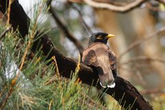The Common Myna Bird. Perched on a branch Royalty Free Stock Photos