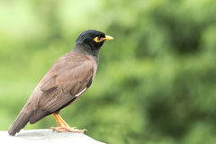 Common Myna Blackbird Stock Photos