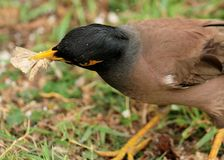 Common Myna with bugs. Portrait of Common Myna holding insect with beak Royalty Free Stock Photography
