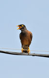 Common myna calling her mate Stock Photos