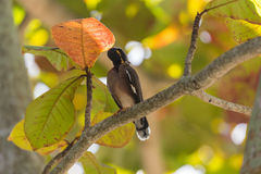 Common myna Stock Photography