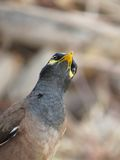 Common Myna closeup portrait with beautiful pose Royalty Free Stock Photography