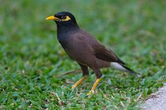 Common myna  goes on  grass Hotels in Thailand Stock Images