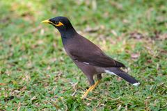 Common myna  goes on  grass Hotels in Thailand Royalty Free Stock Photos