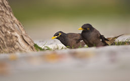 Common Myna on Grass (Acridotheres tristis) Stock Images
