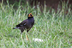 Common myna on the grass Royalty Free Stock Images