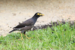 Common myna on the grass Royalty Free Stock Photos