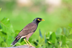 Common myna in green. Common myna isolated on green background Royalty Free Stock Photography