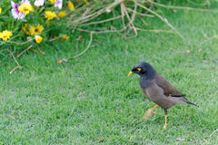 Common myna on green grass Royalty Free Stock Image