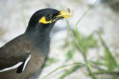 Common Myna holding in its beak herbs for the nest Stock Photography