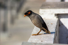 Common Myna. The Common Myna or Indian Myna (Acridotheres tristis) also sometimes spelled Mynah, is a member of the starling family. It is a species of bird royalty free stock images