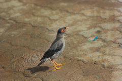 Common Myna 2. The Common Myna or Indian Myna (Acridotheres tristis) also sometimes spelled Mynah, is a member of the starling family. It is a species of bird royalty free stock photography