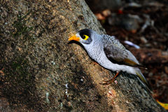 Common Myna. The Common Myna or Indian Myna (Acridotheres tristis), is a member of the family Sturnidae native to Asia. An omnivorous open woodland bird with a Royalty Free Stock Photography