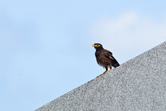 Common Myna or Indian Myna (Acridotheres tristis) Stock Image