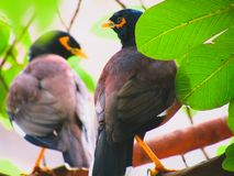 The common myna or Indian myna Acridotheres tristis, sometimes spelled mynah. royalty free stock photo
