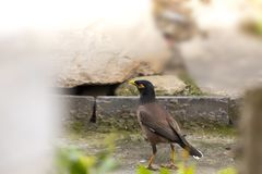 The Common myna or Indian Myna Pokhara Nepal stock image