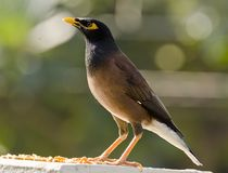 The common myna. /Indian mynah Acridotheres tristis, sometimes spelled mynah, also sometimes known as `Indian myna`,is a member of the family Sturnidae starlings Stock Photos