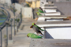 Common Myna and Indian parrots. Common Myna and group of parrots playing together Stock Images
