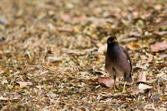 The Common myna. Stock Photo