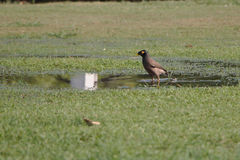 Common Myna. The Common Myna or Mynah in a small puddle ready for its morning bath Stock Photo