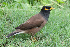 Common myna Royalty Free Stock Photos